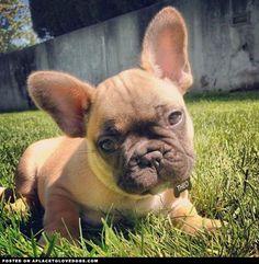 French Bulldog puppy.. Kinda want one!!