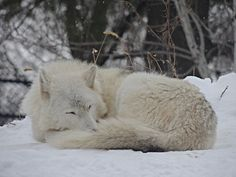 Lovely Sleeping Gray Wolf