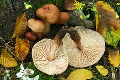 Collybia Fusipes   Flickr - Photo Sharing!