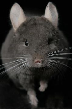 Chinchilla! - want to kill me so you can wear my fur?
