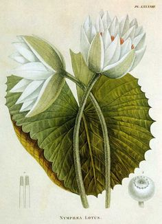 Nymphaea lotus, colloquially known as Tiger Lotus or Egyptian White Water-lily, Ambroise Marie François Joseph Palisot 1752-1820