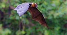 Celebrating bats in pictures. They get a bad rap, but bats are some of the most fascinating & ecologically indispensable animals on Earth.
