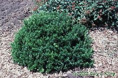 Kobold Barberry- Lustrous dark green foliage on an extra-dwarf rounded shrub. Very durable and versatile, especially well suited to low borders and massed plantings. Deciduous.