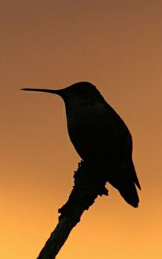 ˚Rufous Hummingbird at Sunrise by Peter Eades @ Flickr