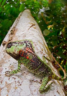 Helmeted Iguana (Corytophanes cristatus) | Flickr - Photo Sharing!