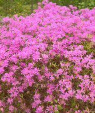 Kevätatsalea - Rhododendron fraseri cm Vyöhykkeet: I–III(IV) Trees And Shrubs, Garden, Plants, Pink, Color, Garten, Lawn And Garden, Colour, Gardens