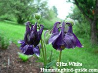 Flowers that attract Hummingbirds: Blue Columbine Hummingbird Flowers, Hummingbird Garden, Hummingbird Food, Flowers That Attract Hummingbirds, Bird Guides, Exotic Plants, Pretty Birds, Wild Birds, Flower Photos