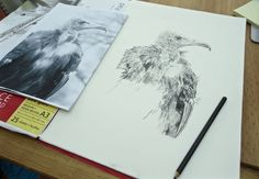 Developing commissioned charcoal portrait of Jack Sparrow the Hooded Vulture by Emma Gorton