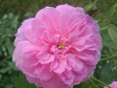 Caldwell Pink - Earth Kind - Polyantha Rose