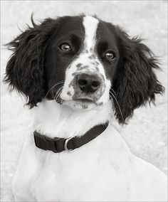 this looks just like our springer spaniel Chien Springer, Springer Dog, Springer Spaniel Puppies, English Springer Spaniel, I Love Dogs, Cute Dogs, Puppies And Kitties, Corgi Puppies, Black And White Dog