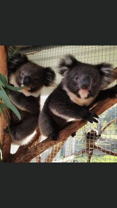 Cute Wild Animals, Cute Funny Animals, Koala Bears, Sloth, Kangaroo, Panda, Sydney Australia, Board, Magic