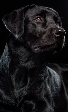 Beautiful black #Lab