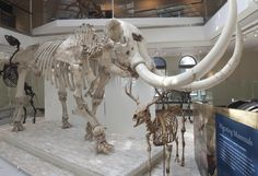 Mastodon skeleton at the Natural History Museum of Los Angeles County.