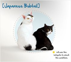 """An active and intelligent cat, the Japanese Bobtail is also quite talkative! She loves to be with her family, especially children, and will often """"talk"""" back to her owners in a wide range of tones. She can also learn to perform tricks a bit easier than most breeds, and is more likely to enjoy learning to walk on a leash and playing fetch."""