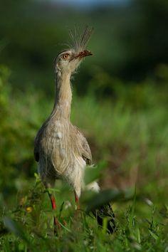 Foto seriema (Cariama cristata) por Stéphane Passera (Stef) | Wiki Aves - A Enciclopédia das Aves do Brasil