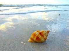 I Love Shelling Blog keeps landlocked people like me from losing their minds! Follow Pam Rambo at www.iloveshelling.com/blog    She does an awesome job of showing her finds with pictures and video and commemting on the beaches, weather and happenings on Sanibel Island.