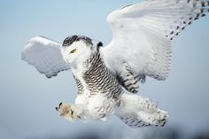 Deadly Landing Gears, Snowy Owl by Kerry Freebird on Owl Pictures, Weird Pictures, Love Birds, Beautiful Birds, Lechuza Tattoo, Nocturnal Birds, Bird Wings, Exotic Pets, Exotic Animals