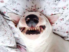 Очень странная улыбка у бультерьера #bullterrier #mybullterrier #бультерьер