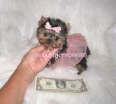 XXXXREMELY TINY MICRO TEACUP YORKIE ~ 2 lbs. @ maturity . www.texastinyyorkies.com Micro Teacup Yorkie, Yorkie Puppy, Maturity, Yorkies, Tea Cups, Teddy Bear, Puppies, Toys, Animals
