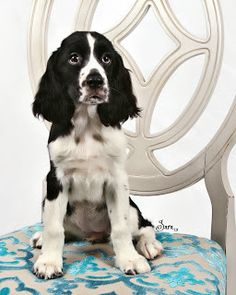 English Springer Spaniel, Puppy
