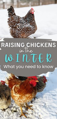 Most chicken owners feel nervous about raising chickens in the winter, and it leads to a lot of questions. Do you need to use heat lamps? Should I add supplemental lights? What do my chickens need to eat in the winter? Well, I answered all of your questions and more. #Chickens #Winter