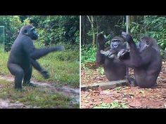 A Young Gorilla's Reactions to his Reflections in Mirrors In Gabonese Jungle : a Dancer? a Drummer? Natural Things, Human Babies, Promised Land, Primates, Mirrors, Reflection, Dancing, Watch, Youtube