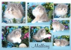 dilute calico persian | Dilute Calico Persian Kitten - Mallory | Superior Quality Teacup ...