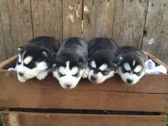 Husky Puppies For Sale, Siberian Husky Puppies, My Husky, Husky Puppy, South Wales, Cute Baby Animals, Pet Care, Dog Breeds, Cute Babies