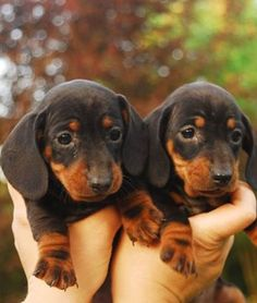 Twin Baby Doxies!