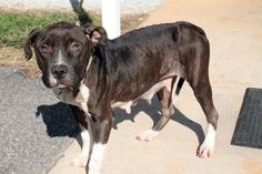 Mamma: Heartworm positive pit mix beauty is out of time at high-kill SC shelter