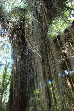 Maui Maui, Places Ive Been, Beautiful Places, Plants, Travel, Voyage, Flora, Viajes, Plant