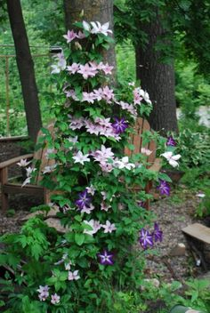 """Clematis planted to wrap around tree trunk - """"Metal mesh works great for me. I grow Pink Fantasy and Venosa Violacea up the tree trunk. Make sure your clematis is planted a couple feet away from the tree and train it toward it, or it will never get enough water."""""""