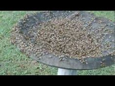 Feeding Tea Tree Oil To Bees to Kill Mites (The Homestead Survival) - HomeSteading Ideas 2019 Permaculture, Buzz Bee, Raising Bees, Raising Chickens, Backyard Beekeeping, Bee Friendly, Hobby Farms, Save The Bees, Homestead Survival