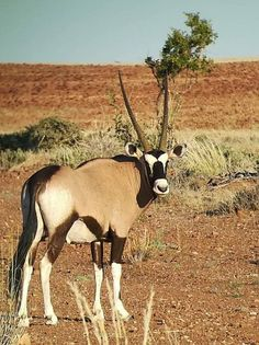 Oryx at Desert Rhino Camp Desert Animals, Nature Animals, German Architecture, New Zealand Travel Guide, New Zealand Landscape, Safari Adventure, Animal Crackers, Beautiful Beaches, Animal Kingdom