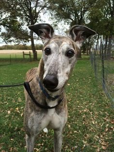 Cabby was a smart, silly boy who will always be beloved and cherished by Holly and Jason Goodlet and Family.  (aka Cabot, GALT #1014, May 2, 2006 - November 16, 2015.)