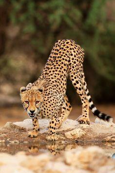 anythingfeline:  Glaring cheetah |John Mullineux