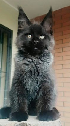 You may want to consider a purebred cat like the Maine Coon cat breed. Animals And Pets, Baby Animals, Cute Animals, Funny Animals, Maine Coon Kittens, Cats And Kittens, Beautiful Cats, Animals Beautiful, Chat Lion
