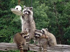 This is what raccoons look like where I come from.