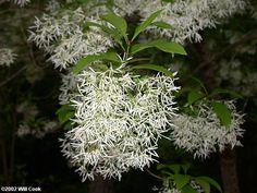 Fringetree (Chionanthus virginicus) Fringe Tree, Dandelion, Backyard, Flowers, Plants, House, Patio, Dandelions, Florals