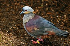 Crested Quail-Dove(Geotrygon versicolor), Jamaica