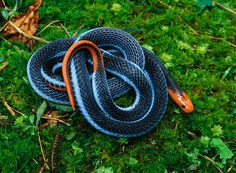 Blue Coral Snake    Coral snakes are highly venomous members of the Elapidae family that are found in all elevations of rainforest in Southeast Asia. Their venom glands have been reported to extend all the way through the body, even reaching near the tail end in some species. They are distributed widely through Thailand, Malaysia, Singapore, Indonesia and Borneo but are not often seen due to their nocturnal and semi-fossorial nature.