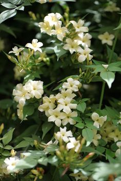 A lovely new variety with large cream flowers - jasmine (syn. Clotted Cream) Jasminum officinale 'Devon Cream'