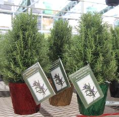 RoseMERRY Christmas! Rosemary makes a great stand-in as a dwarf Christmas tree.
