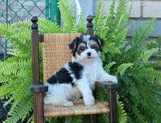 Morkie puppies: Lancaster Puppies has morkie puppies for sale. The Morkie dog is a playful, designer breed. Get a morkie puppy here. Morkie Puppies For Sale, Lancaster Puppies, Animals Dog, Dundee, Mans Best Friend, Puppy Love, Pets, Heart, Sweet