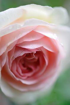 Rose 'Pierre de Ronsard' by miu miu on flickr
