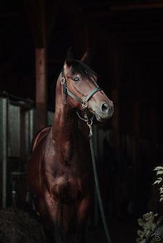 Pferd vor schwarzen Hintergrund / in Stallgasse Transporter, Portrait, Handsome, Horses, Animals, Beautiful, Black, Black Backgrounds, Animales