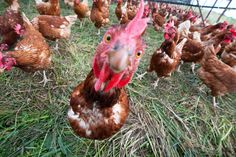 We commend McDonald's on its commitment, announced today, to fully transition to cage-free eggs over the next 10 years.