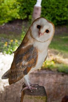 Young Barn Owl's first summer by Ayla HoldomYou can find Barn owls and more on our website.Young Barn Owl's first summer by Ayla Holdom Beautiful Owl, Animals Beautiful, Cute Animals, Owl Facts, Tyto Alba, Owl Quilts, Owl Pet, Owl Photos, Felt Owls