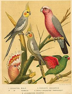 Cockateel and Cockatoo, antique chromolithograph c1890