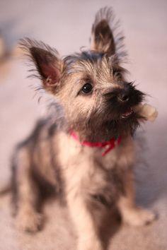 puppy love  cairn terrier